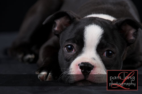 Ellicott City Pet Portrait Photographer 1