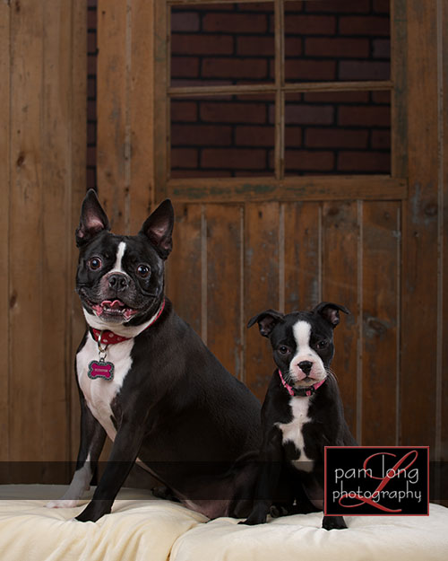 Ellicott City Pet Portrait Photographer 4