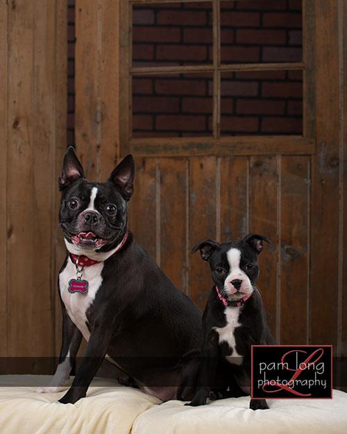 Ellicott City Pet Portrait Photographer 4